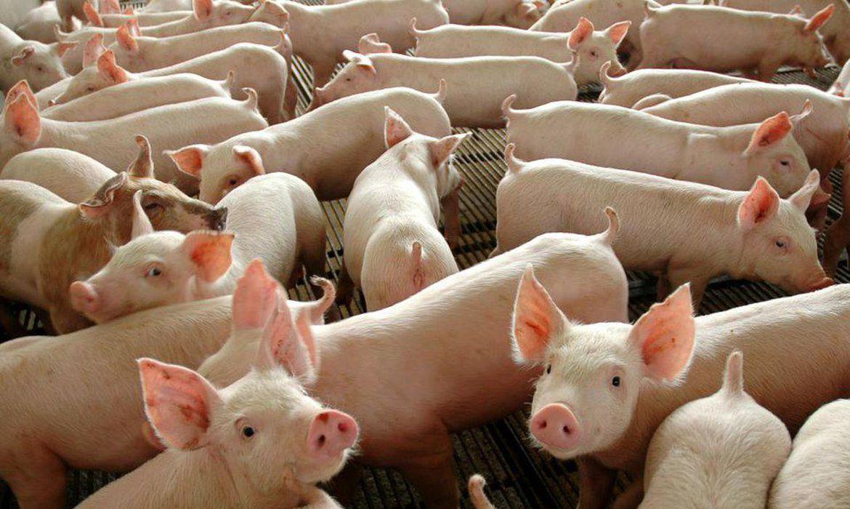 Peste suína clássica não afeta a saúde do ser humano